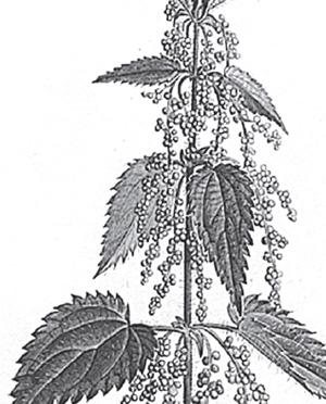 Кропива дводомна (звичайна)
